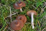 Toasted Waxcap (Hygrocybe colemanniana)